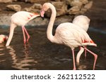 several flamingos in the water | Shutterstock . vector #262112522