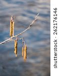 Small photo of branch of alder, Alnus glutinosa, with male inflorescence and mature cones, blurred water in the background, copy space
