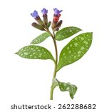 lungwort medicinal  pulmonaria... | Shutterstock . vector #262288682