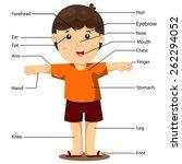 illustration of part of body   Shutterstock .eps vector #262294052