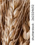 wheat ears | Shutterstock . vector #262324652