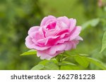 Pink Rose On The Branch In The...