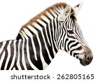 Young Male Zebra Head Isolated...