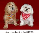 maltese and cocker spaniel dogs with scarves - stock photo
