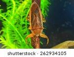 Giant Water Bug  Lethocerus...