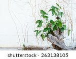 ivy on walls white | Shutterstock . vector #263138105