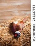 brace of pheasants   Shutterstock . vector #263227955