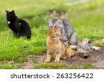 Domestic Cats In The Act Of...