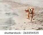 Stock photo beagle puppy running on the sea beach 263354525