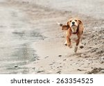 Beagle Puppy Running On The Se...