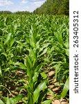 corn field sunny summer day.... | Shutterstock . vector #263405312
