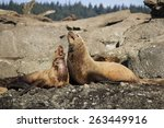 Two Steller Sea Lions Laying O...