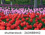 colorful tulips  tulips in... | Shutterstock . vector #263488442