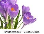 close on  crocus with pistils... | Shutterstock . vector #263502506