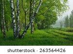 This Is Birch Wood In Caucasus...