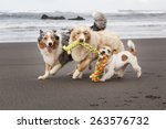 Three Dogs Playing And Running...