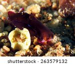 Small photo of Philinopsis speciosa/cyanea (head-shield slug, Aglajidae) on rubble and sand