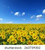 sunflowers field on sky...   Shutterstock . vector #263739302