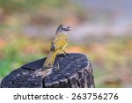 Small photo of The Ochraceous bulbul, alophoixus ochraceus eating fruit in nature of forest