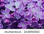 Macro Image Of Spring Lilac...