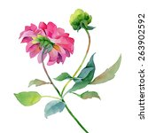 single pink dahlia isolated on... | Shutterstock . vector #263902592