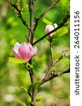 Small photo of Abloom flower of magnolia tree in summertime