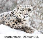 Frontal Portrait Of Snow...