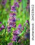 wild violet flower on green... | Shutterstock . vector #264233612