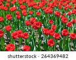 red tulips flowers   nature... | Shutterstock . vector #264369482