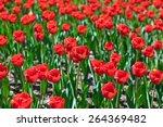 red tulips flowers   nature... | Shutterstock . vector #264369482