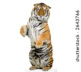 tiger standing up lying down in ... | Shutterstock . vector #2643766