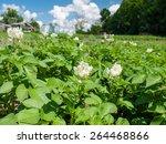 White Blooming Potato Bush...