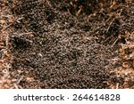 Red Forest Ants  Formica Rufa ...