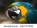Blue   Gold Macaw Parrot Face