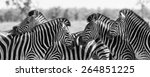 zebra herd in a black and white ...   Shutterstock . vector #264851225