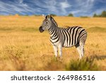 African plains zebra on the dry ...