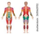 vector muscular human body ...