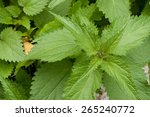 Green Stinging Nettle  Urtica...