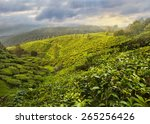 Постер, плакат: Tea Plantation in the