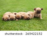 Stock photo little sleeping french bulldog puppies lying on a beautiful green grass 265422152