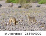 Two Coyotes  Canis Latrans ...