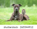 Stock photo american staffordshire terrier dog with little kitten on its back 265544912