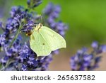 Common Brimstone Butterfly On...