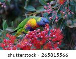 Rainbow Lorikeet Eating The...