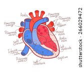 heart anatomy color outline... | Shutterstock .eps vector #266029472