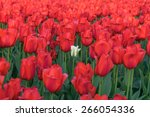 colorful tulips  tulips in... | Shutterstock . vector #266054336