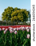 colorful tulips  tulips in...   Shutterstock . vector #266054345