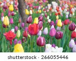 colorful tulips  tulips in... | Shutterstock . vector #266055446