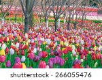 colorful tulips  tulips in... | Shutterstock . vector #266055476