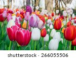 colorful tulips  tulips in... | Shutterstock . vector #266055506